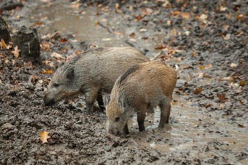 Nachtrag zum Thema Wildschweine
